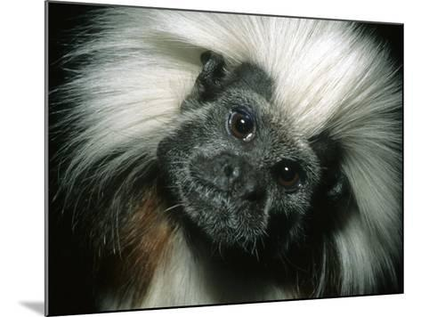 Cotton-Top Tamarin, Colombia-Kevin Schafer-Mounted Photographic Print