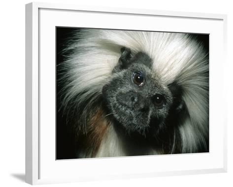 Cotton-Top Tamarin, Colombia-Kevin Schafer-Framed Art Print