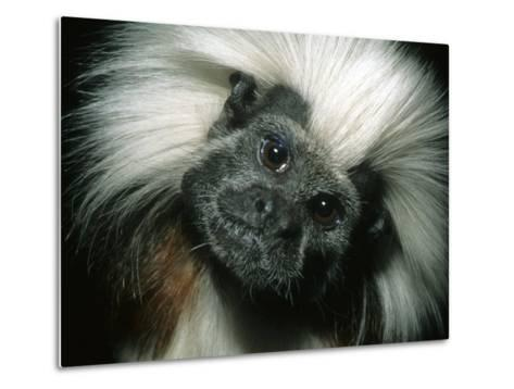 Cotton-Top Tamarin, Colombia-Kevin Schafer-Metal Print