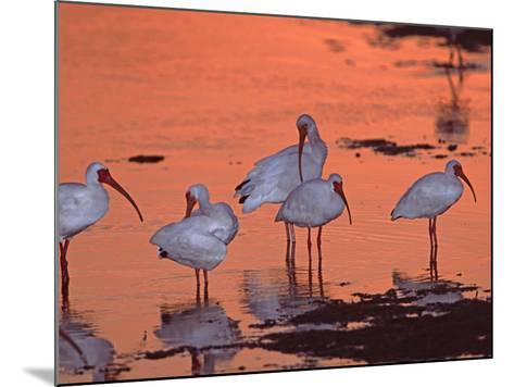 White Ibis, Ding Darling National Wildlife Refuge, Sanibel Island, Florida, USA-Charles Sleicher-Mounted Photographic Print