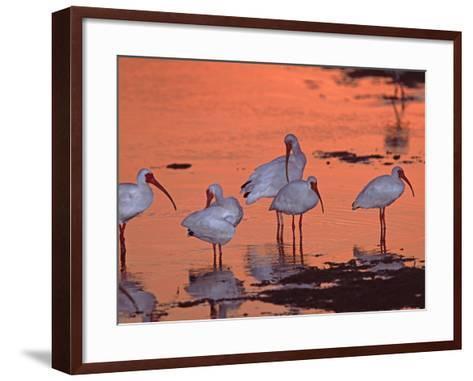 White Ibis, Ding Darling National Wildlife Refuge, Sanibel Island, Florida, USA-Charles Sleicher-Framed Art Print