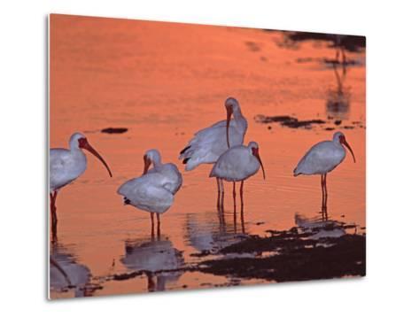 White Ibis, Ding Darling National Wildlife Refuge, Sanibel Island, Florida, USA-Charles Sleicher-Metal Print