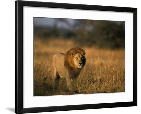 Lion, Savuti Marsh, Chobe National Park, Botswana-Paul Souders-Framed Art Print