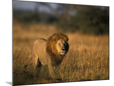 Lion, Savuti Marsh, Chobe National Park, Botswana-Paul Souders-Mounted Photographic Print