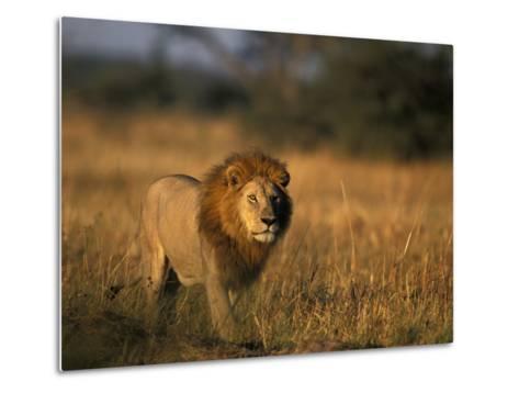 Lion, Savuti Marsh, Chobe National Park, Botswana-Paul Souders-Metal Print