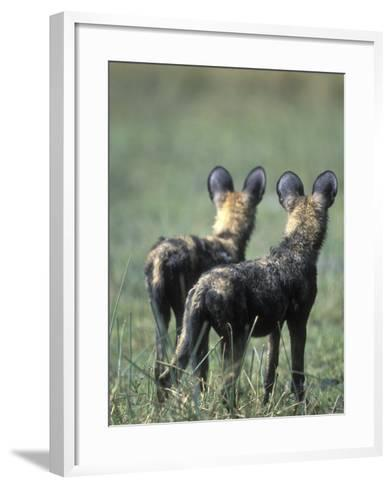 African Wild Dogs, Khwai River, Moremi Game Reserve, Botswana-Paul Souders-Framed Art Print