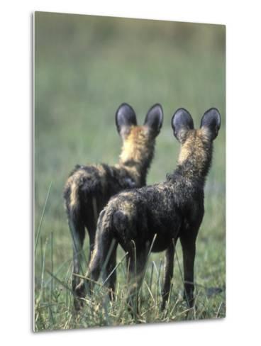 African Wild Dogs, Khwai River, Moremi Game Reserve, Botswana-Paul Souders-Metal Print