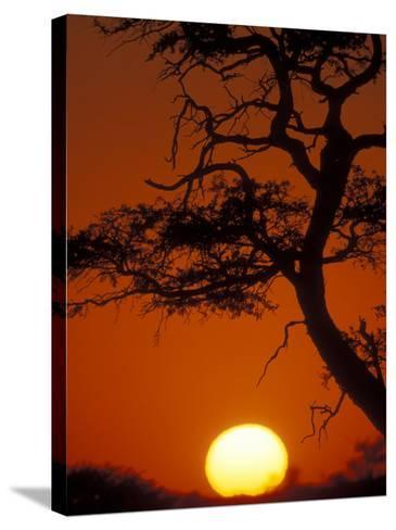 Silhouetted Tree Branches, Kalahari Desert, Kgalagadi Transfrontier Park, South Africa-Paul Souders-Stretched Canvas Print