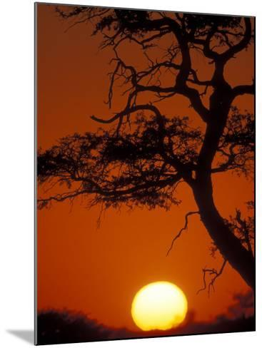 Silhouetted Tree Branches, Kalahari Desert, Kgalagadi Transfrontier Park, South Africa-Paul Souders-Mounted Photographic Print