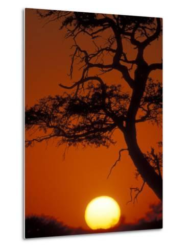 Silhouetted Tree Branches, Kalahari Desert, Kgalagadi Transfrontier Park, South Africa-Paul Souders-Metal Print