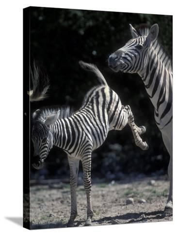 Plains Zebra Kicks, Etosha National Park, Namibia-Paul Souders-Stretched Canvas Print