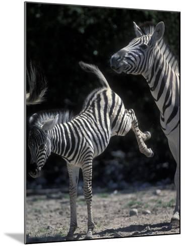 Plains Zebra Kicks, Etosha National Park, Namibia-Paul Souders-Mounted Photographic Print