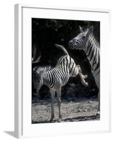 Plains Zebra Kicks, Etosha National Park, Namibia-Paul Souders-Framed Art Print