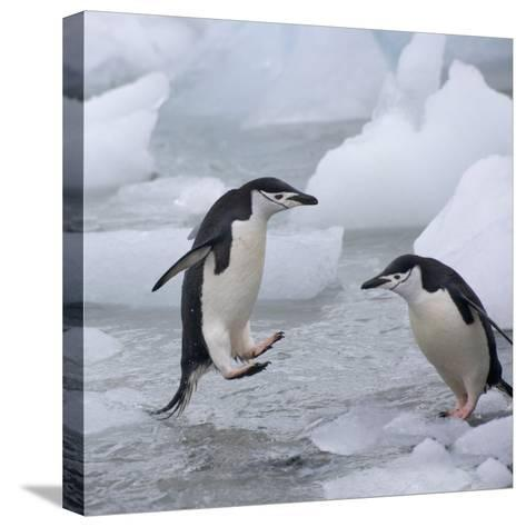 Chinstrap Penguins on ice, South Orkney Islands, Antarctica-Keren Su-Stretched Canvas Print