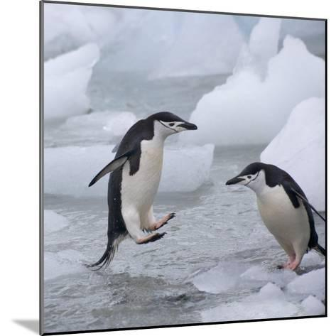 Chinstrap Penguins on ice, South Orkney Islands, Antarctica-Keren Su-Mounted Photographic Print