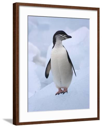 Chinstrap Penguins on ice, South Orkney Islands, Antarctica-Keren Su-Framed Art Print