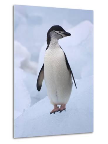 Chinstrap Penguins on ice, South Orkney Islands, Antarctica-Keren Su-Metal Print
