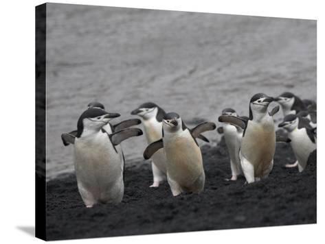 Chinstrap Penguin on the beach, Deception Island, Antarctica-Keren Su-Stretched Canvas Print