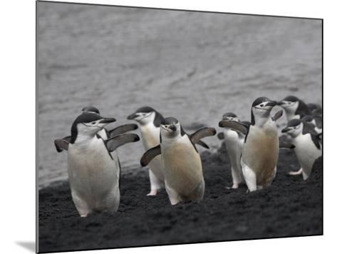 Chinstrap Penguin on the beach, Deception Island, Antarctica-Keren Su-Mounted Photographic Print
