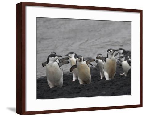 Chinstrap Penguin on the beach, Deception Island, Antarctica-Keren Su-Framed Art Print