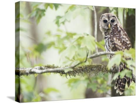 Barred Owl, Vacharie, Louisiana, USA-Rob Tilley-Stretched Canvas Print