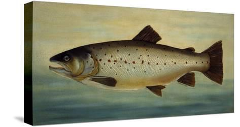 Brown Trout-Porter Design-Stretched Canvas Print