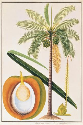 Kelapa or Coconut Palm-Porter Design-Stretched Canvas Print