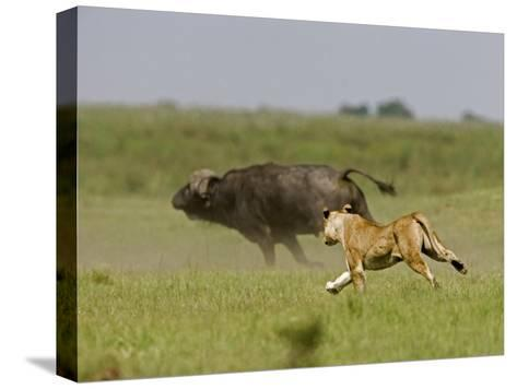 Lion (Pathera Leo)Hunting, Chasing an African Buffalo (Syncerus Caffer)-Beverly Joubert-Stretched Canvas Print