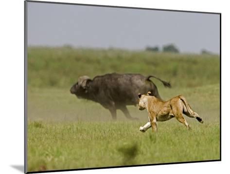 Lion (Pathera Leo)Hunting, Chasing an African Buffalo (Syncerus Caffer)-Beverly Joubert-Mounted Photographic Print