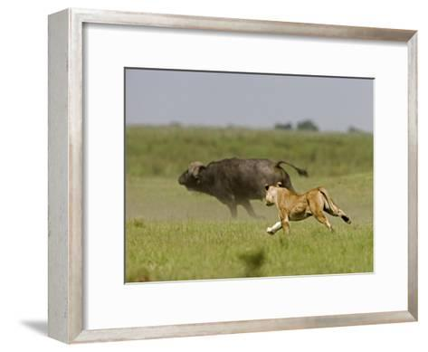 Lion (Pathera Leo)Hunting, Chasing an African Buffalo (Syncerus Caffer)-Beverly Joubert-Framed Art Print