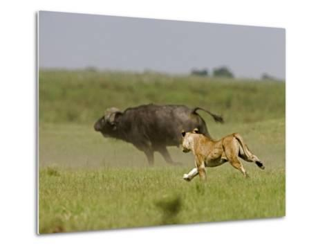 Lion (Pathera Leo)Hunting, Chasing an African Buffalo (Syncerus Caffer)-Beverly Joubert-Metal Print