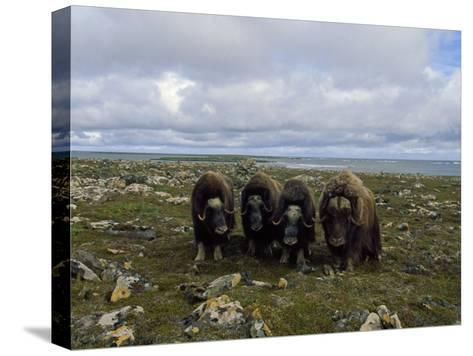 Four Musk Oxen-Joel Sartore-Stretched Canvas Print
