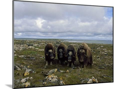 Four Musk Oxen-Joel Sartore-Mounted Photographic Print