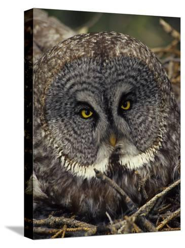 Great Gray Owl on Nest-Michael S^ Quinton-Stretched Canvas Print