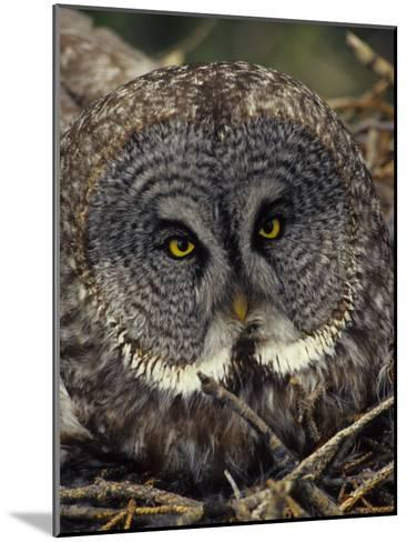Great Gray Owl on Nest-Michael S^ Quinton-Mounted Photographic Print