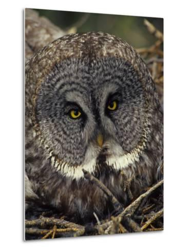 Great Gray Owl on Nest-Michael S^ Quinton-Metal Print