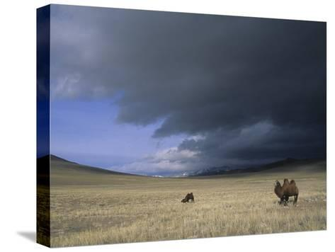 Bactrian Camels in Bayan-Ulgii,Mongolia-David Edwards-Stretched Canvas Print