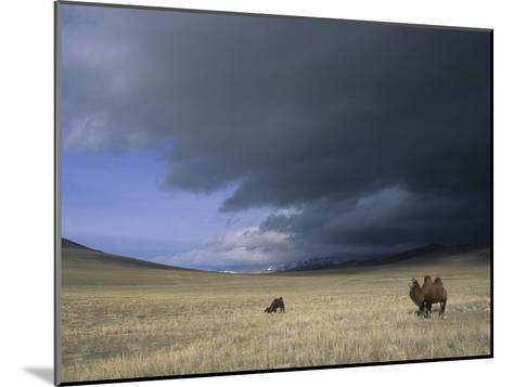 Bactrian Camels in Bayan-Ulgii,Mongolia-David Edwards-Mounted Photographic Print