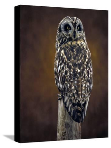 Short Eared Owl, Idaho-Michael S^ Quinton-Stretched Canvas Print