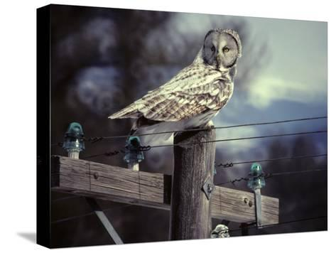 Great Gray Owl on Old Telephone Poles-Michael S^ Quinton-Stretched Canvas Print