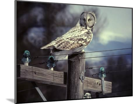 Great Gray Owl on Old Telephone Poles-Michael S^ Quinton-Mounted Photographic Print