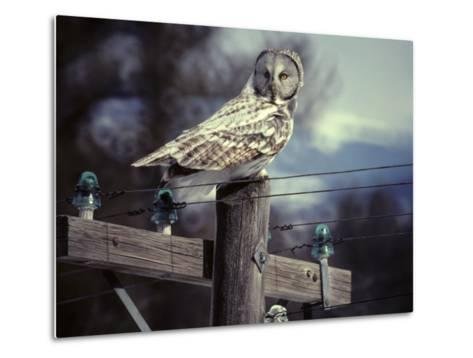 Great Gray Owl on Old Telephone Poles-Michael S^ Quinton-Metal Print