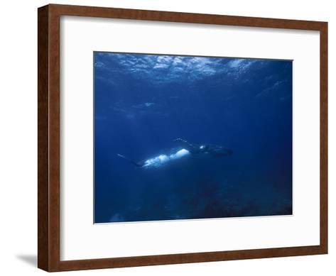 Humpback Whale, Swimming Underwater in a Serene Blue Sea-Paul Sutherland-Framed Art Print
