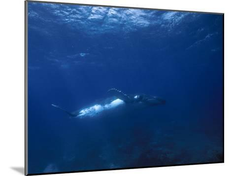 Humpback Whale, Swimming Underwater in a Serene Blue Sea-Paul Sutherland-Mounted Photographic Print