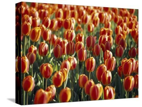 Mass Planting of Tulips in Bloom in the Spring-Paul Sutherland-Stretched Canvas Print