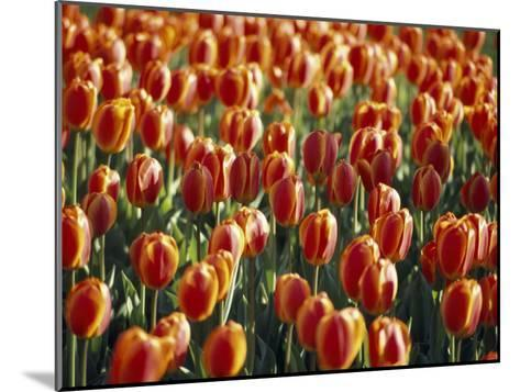Mass Planting of Tulips in Bloom in the Spring-Paul Sutherland-Mounted Photographic Print