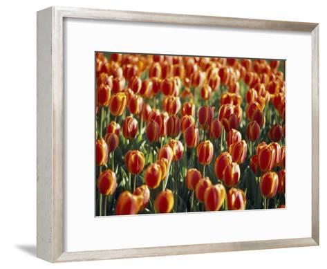 Mass Planting of Tulips in Bloom in the Spring-Paul Sutherland-Framed Art Print