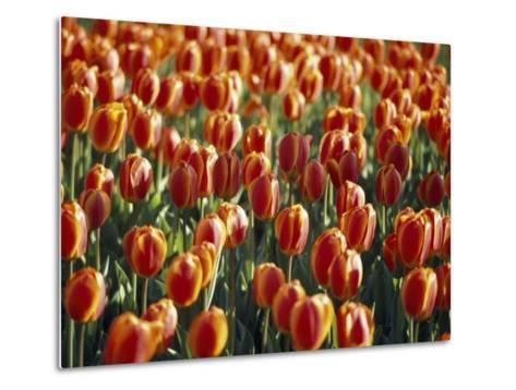 Mass Planting of Tulips in Bloom in the Spring-Paul Sutherland-Metal Print