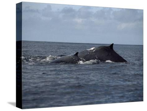 Mother and Calf Humpback Whales with Backs Arched Out of the Water-Paul Sutherland-Stretched Canvas Print