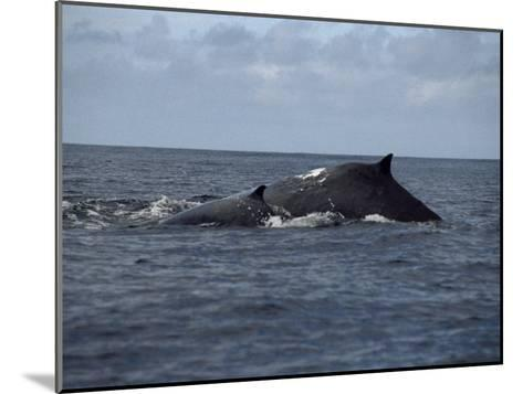Mother and Calf Humpback Whales with Backs Arched Out of the Water-Paul Sutherland-Mounted Photographic Print